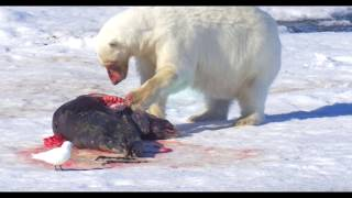 Download Polar Bear and prey, Polar Bear and Seal, Polar Bear in the Arctic דב קוטב וטרף Video