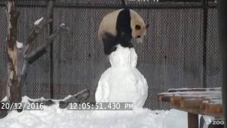 Download Toronto Zoo Giant Panda vs. Snowman Video