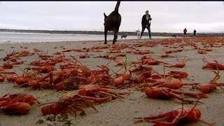 Download Red crabs invade California beaches Video