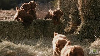 Download Poodle Pups Climb to New Heights   Too Cute! Video