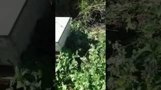 Download Elvage d abeille en Tunisie Video
