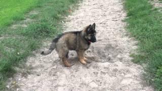 Download Baby Schäferhund Video