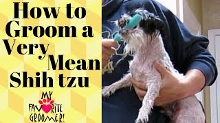 Download Trimming a mean shih tzu Video