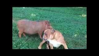 Download Bulldog and Pig are Best Friends: Meet Dozer and Rudy Video