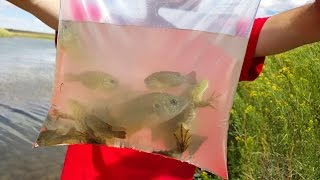 Download 4K cc. Bull Frog Cat Fish Rescue & Blue Gill. Herping, Fishing & Nature USA AZ CA NV TX UT CO HD. Video