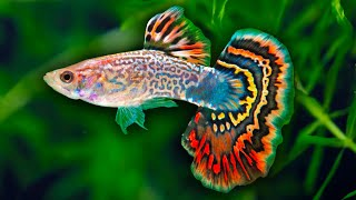Download How to Care for Fancy Guppy Fish. Poecilia reticulata Million Fish. How to set up a guppy tank. Video
