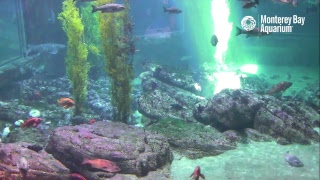 Download Live Shark Cam in HD - Monterey Bay Aquarium Video