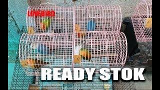 Download Ready Stok Burung Lovebird 15 November 2019 Video