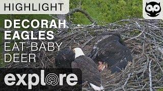 Download Bald Eagles Eat Baby Deer - Decorah Nest - Live Cam Highlight Video