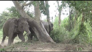 Download Elephants off their chain for the first time Full HD Video