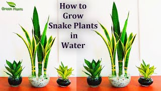 Download Snake plants Growing in Water-Snake plants Indoor Decoration-Snake plants Leaf Cutting//GREEN PLANTS Video