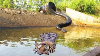 Download Big Cat Powerful Become Prey Of The Giant Anaconda - Wild Animal Attacks Video