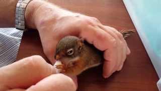 Download De kleine eekhoorntjes groot brengen Video
