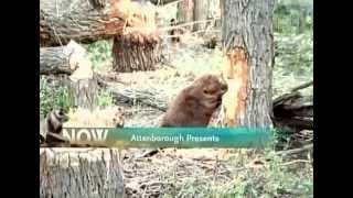 Download BBC Wildlife Beavers the Master Builders Video