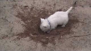 Download Westie puppies 8 weeks old Video