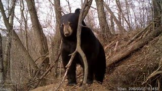 Download Amazing video of Bear Emerging from Den Video