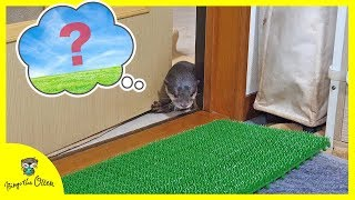 Download カワウソのビンゴはじめての人工芝 Otter Bingo first time stepping over artificial grass Video
