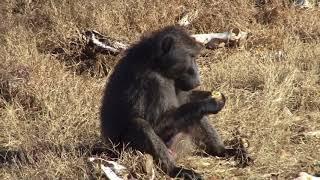 Download Baboon & Monkey combo hunt with De Beer Safaris Video