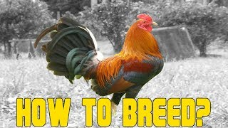 Download How to Breed Chicken A Beginners Guide Video