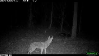 Download coyotes/coywolves night video compilation Video