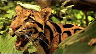Download The Beautiful Clouded Leopard Video