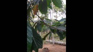 Download Burung Cito / Sirpu Slogohimo Video