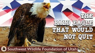 Download The Bald Eagle That Would Not Quit | Bald Eagle Rescue Short Film | Wildlife Documentary Video