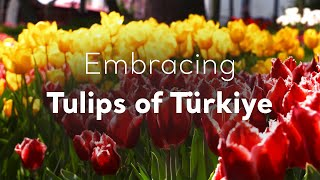 Download Embracing Tulips of Turkey Video