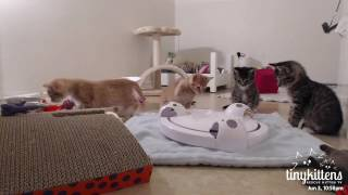 Download Ferocious feral kittens whap everything! TinyKittens Video