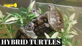 Download RARE New Turtles!!! (Diamondback Terrapin HYBRIDS!?) Video