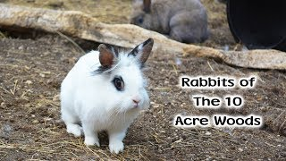 Download Rabbits of The 10 Acre Woods Video