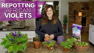 Download Repotting African Violets // Garden Answer Video