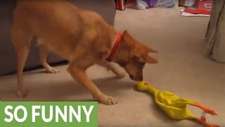Download Confused dog hates rubber chicken Video