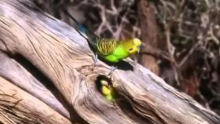 Download BBC documentary 2014 The Wild Bush Budgie Nature Documentary Video