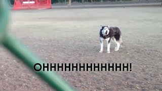 Download Howling Husky doesn't want to leave dog park Video