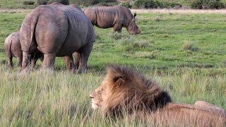 Download Rhino vs Lion on African Safari Video
