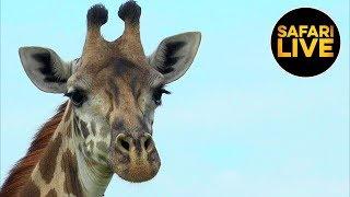 Download safariLIVE - Sunrise Safari - January 17, 2019 Video