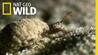 Download An Antlion's Spiraling Death Trap | Wildest Wonders Video