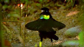 Download Bird Of Paradise Makes An Unforgettable First Impression - Animal Attraction - BBC Video