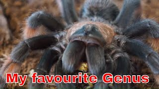 Download AF Brachypelma Update - ruined by Ramsay Video
