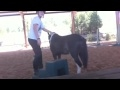 Download *Breaking a pony Stallion* Video