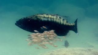 Download Baby fish hide inside mother's mouth - Animal Super Parents: Episode 1 Preview - BBC One Video