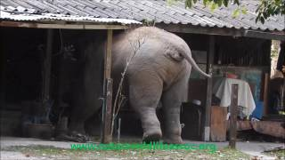 Download wild elephant in the house Video
