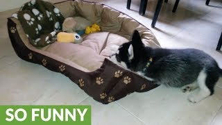 Download Husky puppy ″makes her bed″ every single morning Video