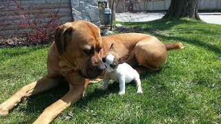 Download Cute Puppies Playing with Big Dogs Compilation - Funny Dog Videos (2018) Video