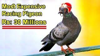 Download ये है दुनिया का सबसे महंगा कबूतर, इसकी कीमत जानकर आप भी रह जाएंगे हैरान | Expensive Racing Pigeon Video