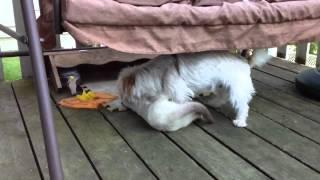 Download Dog hump cat Video