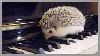 Download Hedgehog Vines - Cute Hedgehogs That Run, Hide, Play and Eat Video