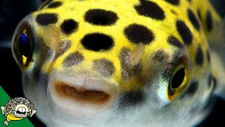 Download Puffer Fish! Lets talk about Puffers! Pufferfish - Live Stream Video
