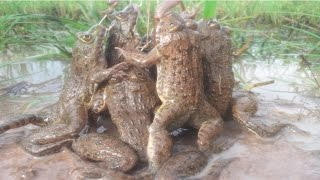 Download Amazing Frog Trap-How to catch big frogs-crazy frog-catching frog-khmer digging frog-Chasing frog Video